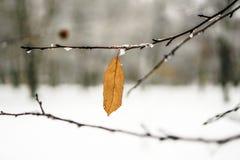 Escarcha en las hojas en nevar en invernadero Rama congelada con el fondo de las escamas de la nieve fotografía de archivo
