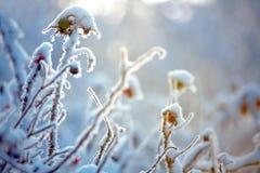 Escarcha en ramificaciones de arbustos Imagen de archivo libre de regalías