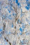 Escarcha en un árbol de abedul Fotos de archivo