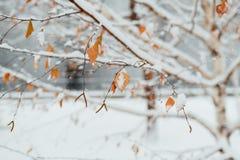 Escarcha en una mañana de la hoja del abedul en noviembre Imagen de archivo