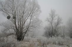 Escarcha magnífica en abedules Un bosque del invierno en el levantamiento en una helada dura Foto de archivo libre de regalías