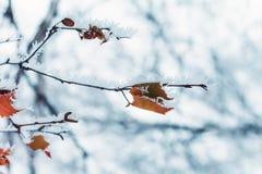 Escarcha natural del contexto del invierno en una rama de árbol Fotografía de archivo libre de regalías