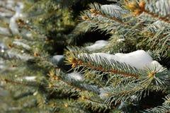 Escarcha nos ramos do abeto vermelho Fotografia de Stock Royalty Free