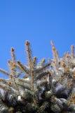 Escarcha nos ramos do abeto vermelho Fotografia de Stock