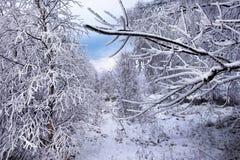 Escarcha y nieve de la escarcha en ramas de árbol de abedul Fotos de archivo