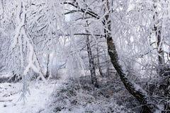 Escarcha y nieve de la escarcha en ramas de árbol de abedul Imagen de archivo libre de regalías