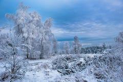 Escarcha y nieve de la escarcha en ramas de árbol de abedul Fotografía de archivo