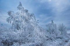 Escarcha y nieve de la escarcha en ramas de árbol de abedul Foto de archivo libre de regalías