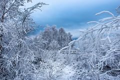 Escarcha y nieve en árboles de abedul País de las maravillas del invierno Foto de archivo libre de regalías