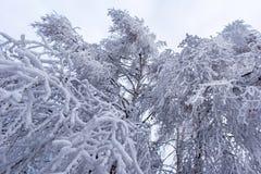Escarcha y nieve en árboles de abedul País de las maravillas del invierno Fotos de archivo libres de regalías