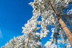 Escarcha y nieve en los árboles de pino en bosque del invierno Imagen de archivo libre de regalías