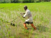 Escarde en el campo de arroz de ph9otos natural srilanqués foto de archivo libre de regalías