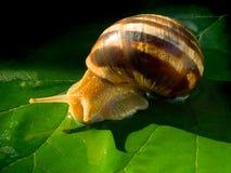 Escargot. Photographie stock