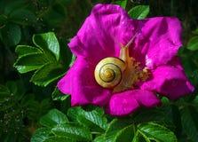 Escargot Photographie stock libre de droits