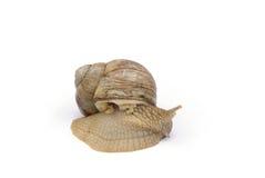 Escargot Royalty-vrije Stock Afbeeldingen