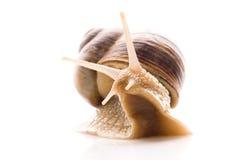 Escargot. Image libre de droits