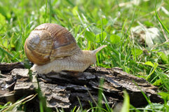 Escargot Photo stock