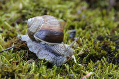 Escargot Photographie stock libre de droits