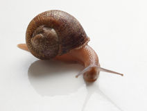 Escargot? Royalty Free Stock Photography