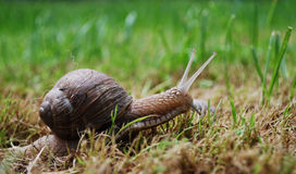 Escargot actif Photos libres de droits