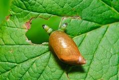 Escargot Antara affecté par le parasite Leucochloridium paradoxal Images stock