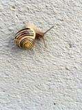 Escargot avec le beau modèle sur sa coquille Image stock