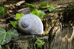 Escargot bleu-clair sur un tronc en bois images stock