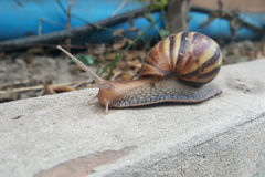 Escargot brun de plan rapproché avançant lentement Photographie stock libre de droits