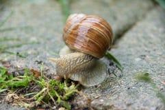Escargot comestible, escargot romain, escargot marron, escargot sur le béton image libre de droits