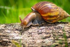 Escargot curieux rampant sur le béton helice Roman Snail - Image photo stock