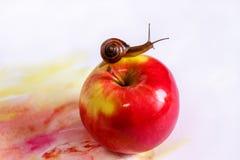 Escargot curieux sur une pomme rouge sur un fond blanc Photos libres de droits