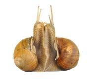 Escargot dans l'amour Image stock