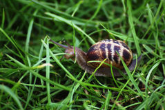 Escargot dans l'herbe Photo stock
