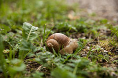 Escargot dans l'herbe Photo stock