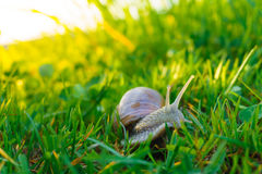 Escargot dans l'herbe Image stock