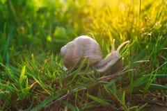Escargot dans l'herbe Images stock