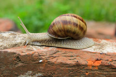 Escargot dans l'herbe Photos stock