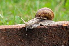 Escargot dans l'herbe Photo libre de droits