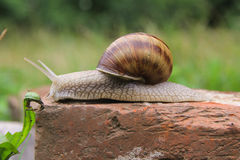 Escargot dans l'herbe Images libres de droits
