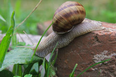 Escargot dans l'herbe images stock