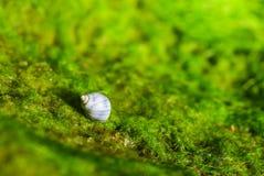 Escargot dans la coquille sur la mousse Photo stock
