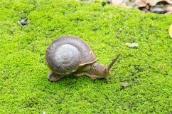 Escargot dans le domaine de mousse Image libre de droits