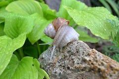 Escargot dans le jardin Photographie stock