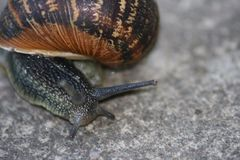 Escargot dans le macro Image libre de droits