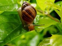 Escargot dans un congé après pluie Photos stock
