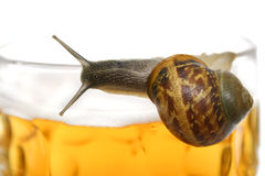 Escargot de bière image stock