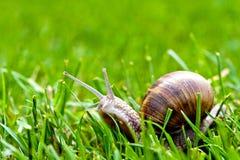 Escargot de Bourgogne dans l'herbe Images stock