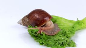 Escargot de bourgogne mangeant une feuille de laitue clips for Caracol de jardin que come