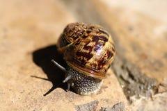 Escargot de cordon Image stock