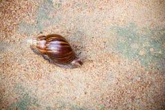 Escargot de cordon africain Image libre de droits